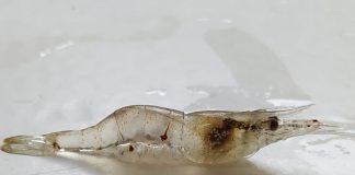 Ejemplar del camarón estudiado en la investigación, denominado 'Palaemon varians'.