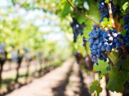 Respaldo a la reestructuración y reconversión de viñedos con 2,2M € en ayudas